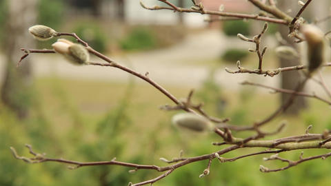 The furry buds of Magnolia blossom in the garden near the... Stock Video Footage