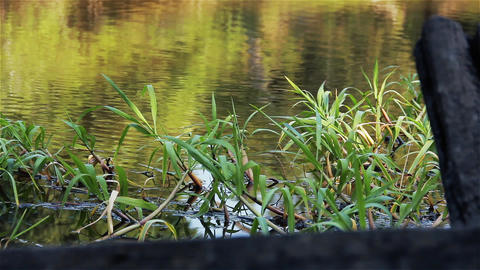 Swamp Water With Aquatic Plants. Close-Up Live Action