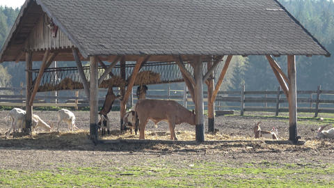 Farm animals. Many brown and white goats in corral GIF