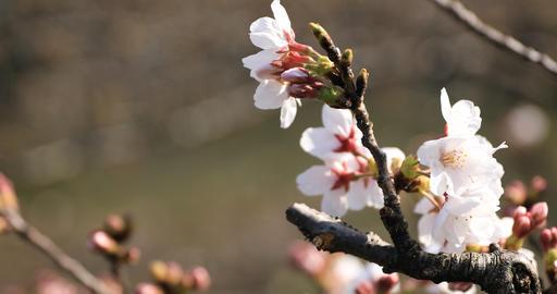 Cherry blossom at the park in Tokyo closeup ライブ動画