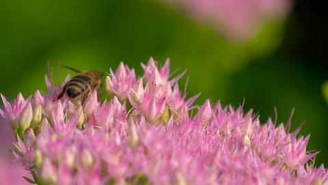 Macro of bee gathering pollen from Milkweed Footage
