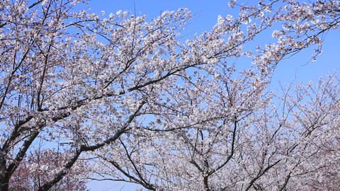 An airplane approaching a cherry tree ビデオ