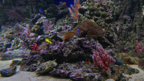Colored Underwater Life of Coral Reef Fish Live Action
