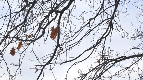 Alone dry oak leaf on a branch, swayed by the wind Footage
