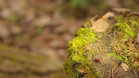 Ladybugs crawling on an old stump covered with green moss HD Live Action