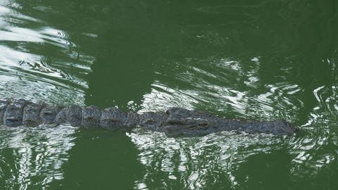 A crocodile slowly swimming in a bright green water Footage
