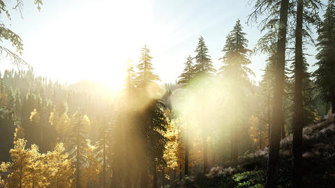 Sun Shining Through Pine Trees in Mountain Forest Live Action