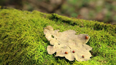 Ladybugs crawling on a dry oak leaf on a stump in the woods HD 1920 Footage