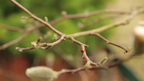 Ladybug moves on branches and buds of Magnolia Bush in early spring in April HD Live Action