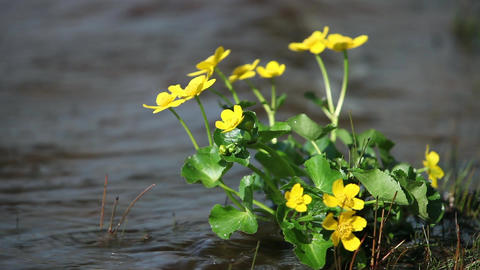 primroses marigold Footage