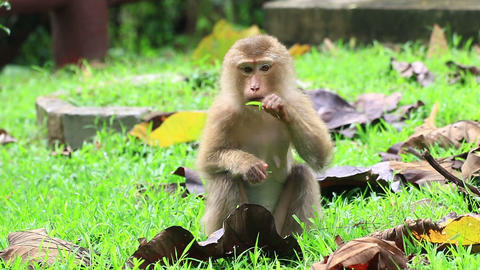 Young monkey sitting on the ground Footage