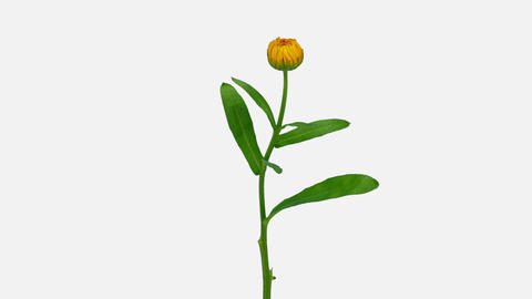 Time-lapse of opening calendula flower with ALPHA channel GIF