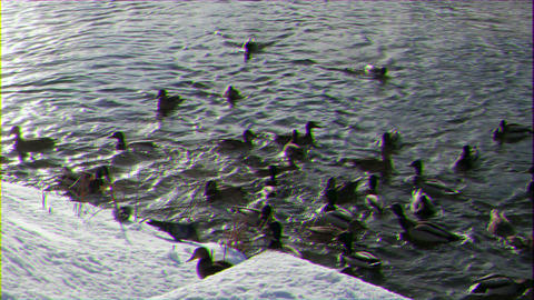 Glitch effect. Ducks on the snow and in the water GIF