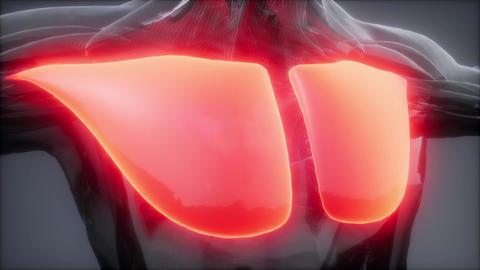 pectorsl muscule - Visible muscle anatomy map ビデオ