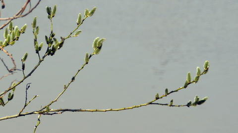 willow branch with fluffy buds Palm Sunday Footage