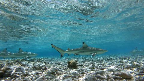 Sharks - Blacktip Reef Shark swim in French Polynesia Tahiti Live Action