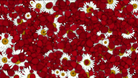 falling rose petals & daisy,wedding... Stock Video Footage