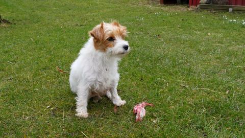 Jack Russell terrier with a bone - out on a lawn Live Action