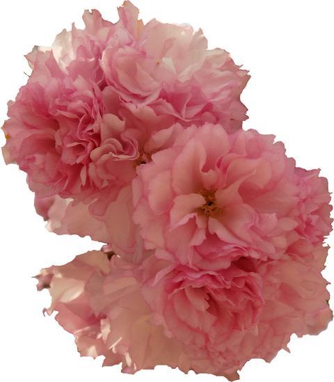 Sakura Cherry Blossom 「Sekiyama」「kanzan」 cutout Fotografía
