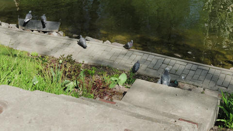 City pigeons sit on the shore of a lake on a sunny day GIF