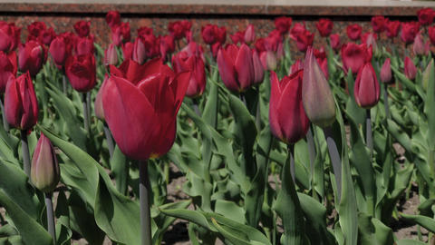 Flowerbeds of red, yellow and orange tulips. Close up of red star tulips Footage