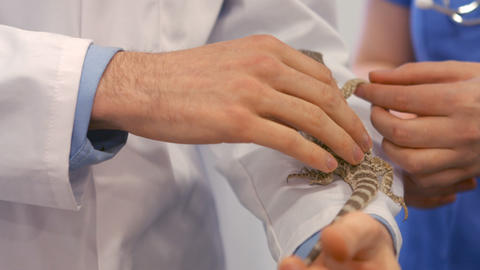 Two vets petting a lizard Footage