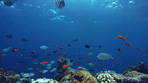Lively coral reef teeming with life Footage