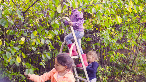 Two girls collecting plums Footage