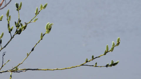 fluffy willow buds in the rays Footage