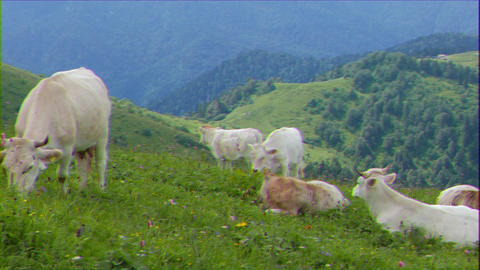 Glitch effect. A herd of cows in the mountains. Ridge Aibga. Sochi, Russia GIF