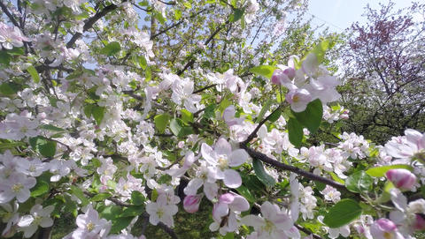 Cherry Blossom Tree, Sakura Flower In Spring. Nature And Springtime Background Footage