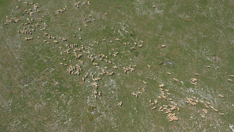 Aerial - Flock of sheep grazing in a pasture Footage