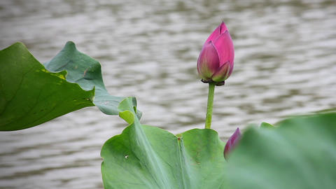 A pink lotus flower and lotus bud in a pond. Pink lotus flower and lotus Footage