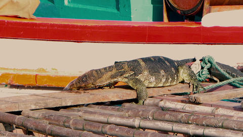 A huge аsian water monitor, Voranus Salvator, Dragon... Stock Video Footage