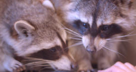 Close-up shot of two raccoons in the zoo cage sniffing hands of visitors Archivo