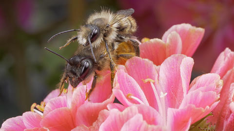 a macro closeup of two honey bees on a flower in a garden Fotografía