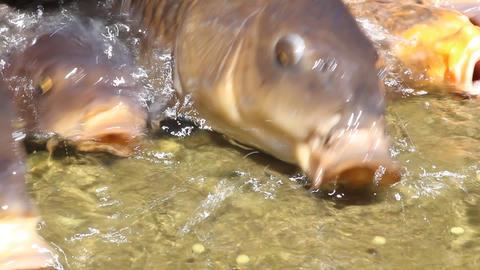 エサを奪い合う鯉 ライブ動画