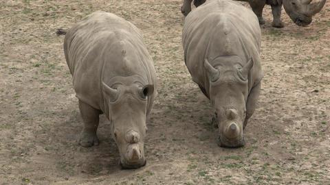 Southern white rhinoceros (Ceratotherium simum simum). Wildlife animal. Critically endangered animal Live Action
