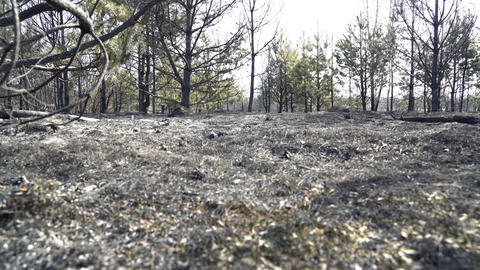 Forest after big wildfire, burned grass and burned trees, ecology catastrophe Footage