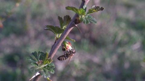 Macro of bee gathering pollen from sunflower in field Footage
