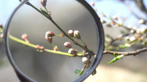 Flowers Cherry flowering. biology research with magnifying glass Timelapse. Tree Live Action