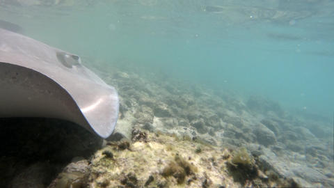 Stingrays underwater video of wildlife nature in French Polynesia, Bora, Bora Live Action