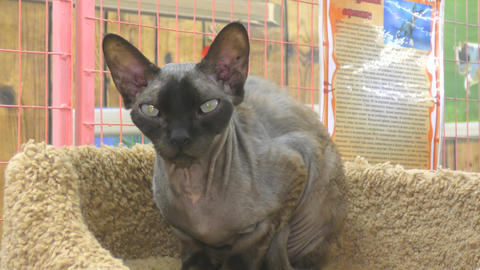 Sphynx cat breeds Footage