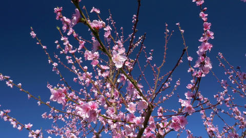 Close-up - Low angle view of blooming peach tree at a blue sky Footage