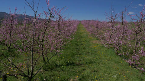 Aerial - Rows of blooming peach trees Footage