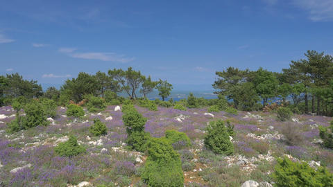 Aerial - Flyover hill with purple flowering bushes revealing the seascape Footage