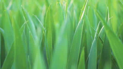 Low angle view, closeup, camera moving forward through green wheat grass Footage