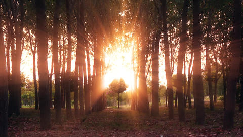 4K A small and beautiful tree between of long trees. Sun is behind of trees and shiny. Autumn Live Action