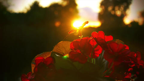 Sun is rising up over red flower. Red flower and sun in beautiful perspective Live Action