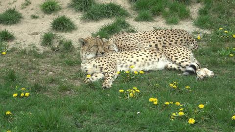 Cheetah portrait (Acinonyx jubatus) Footage